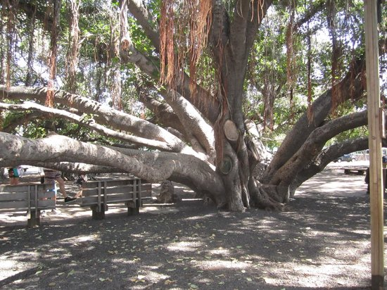 Banyan Tree Park: Under the Banyab Tree