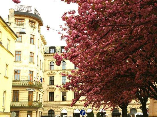 Hotel SLAVIA: Вся улица цвела! Отель стоял в окружении розовых деревьев