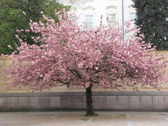 Hradschin (Burgstadt/Hradčany): Spring blooming