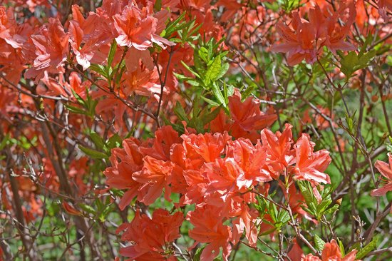 Quarryhill Botanical Garden: Beautiful salmon colored rhododendrons were in bloom