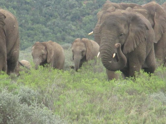 Rippon's Safari Lodge: Elephants in a hurry to reach the other herd