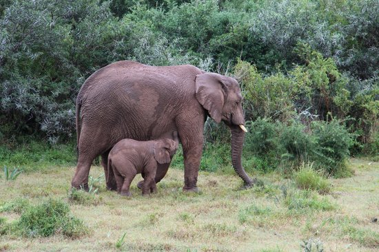 Rippon's Safari Lodge : mother and baby ele