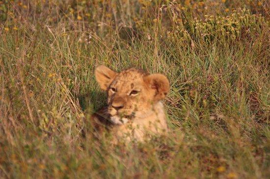 Rippon's Safari Lodge: lion cub hiding in the grass