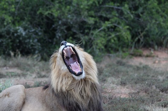 Rippon's Safari Lodge: Roaring lion (or was he yawning)