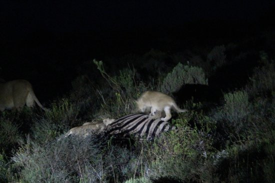 Rippon's Safari Lodge : Lion cubs feasting on carcass in the dark