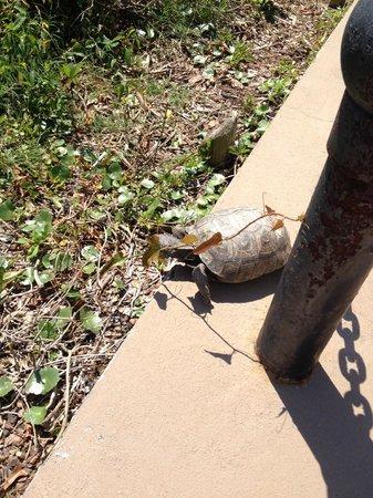 The Ritz-Carlton, Amelia Island : turtle on property!