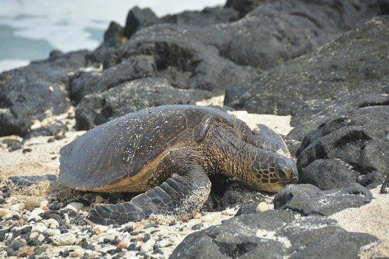 Four Seasons Resort Hualalai: Turtles on beach every day...
