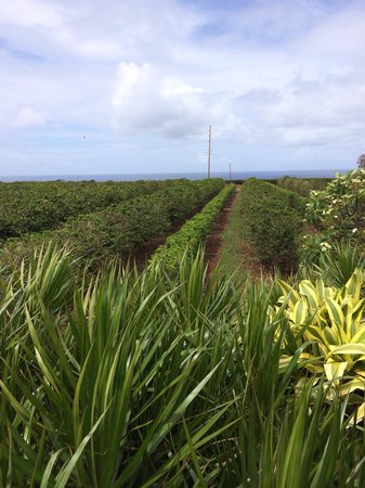 Kalaheo, HI: View while sampling coffee