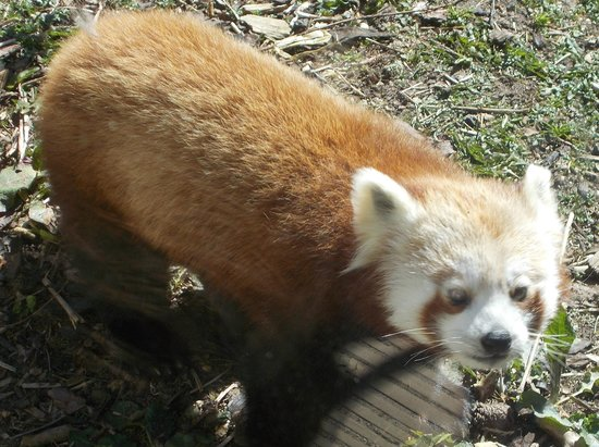 Highland Wildlife Park: red panda
