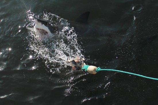 Marine Dynamics: shark 1