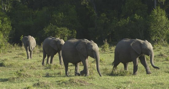 Sanctuary Olonana: elephants in the afternoon