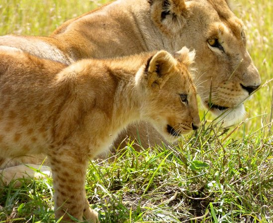 Sanctuary Olonana: lioness and cub