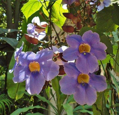 Sheraton Buganvilias Resort & Convention Center: Estas flores adornan el hotel.