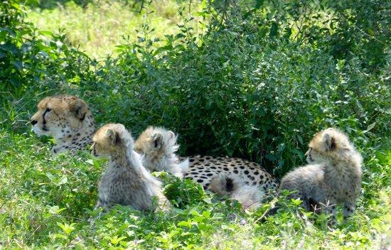 Sanctuary Kusini, Serengeti: cheetah and cubs