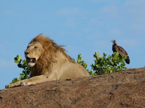 Sanctuary Kusini, Serengeti: lion and vulture