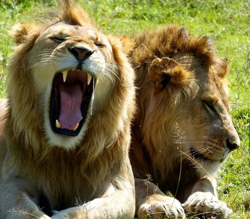 Sanctuary Kusini, Serengeti: tired lion