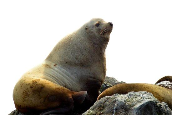 Steveston EcoTours: Stellar Sea Lion