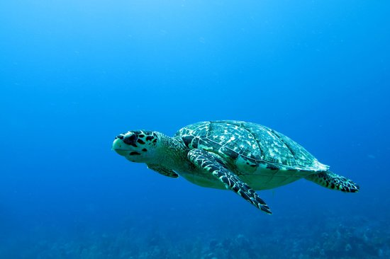 Belize Pro Dive Center: Sea turtle minding his own business