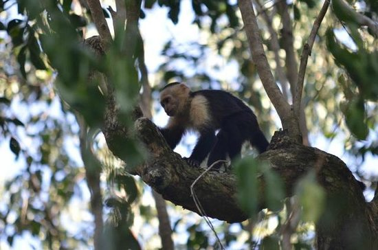 Playa Manuel Antonio: Capucine Monkeys
