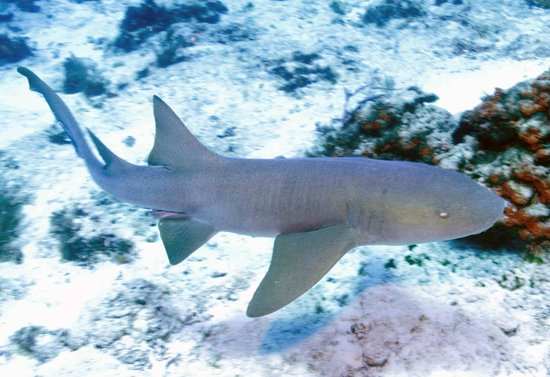 Tunich Reef: Nurse Shark