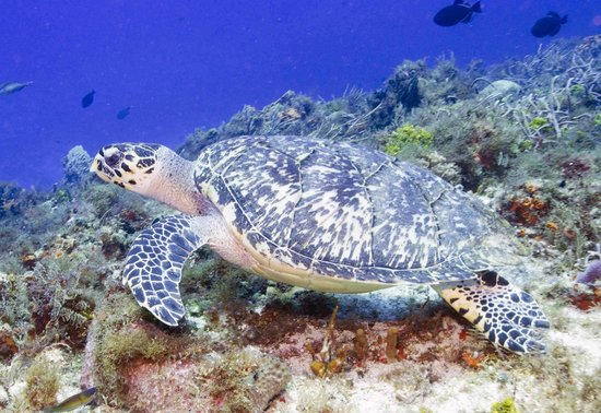 Tunich Reef: Hawksbill Turtle