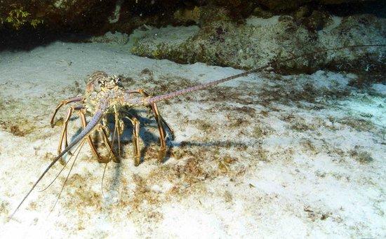 Tunich Reef: Lobster