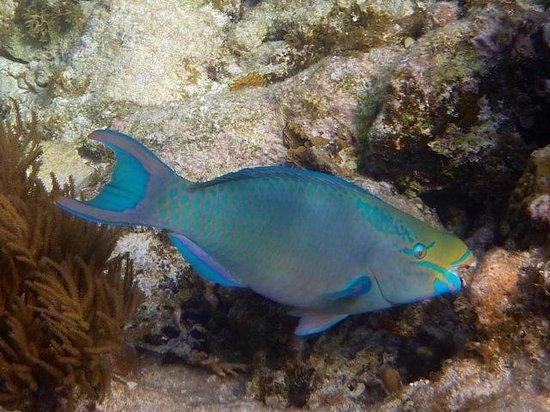 ReefCI : queen parrotfish