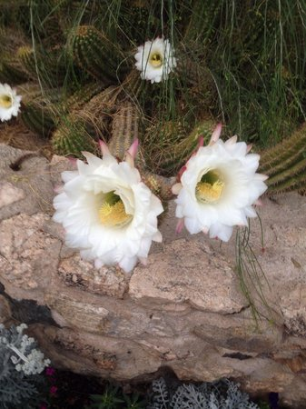 Tanque Verde Ranch: Bat pollinated cactus