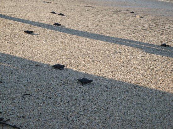 Samba Vallarta All Inclusive : Tortuguitas rumbo al mar cerca del hotel