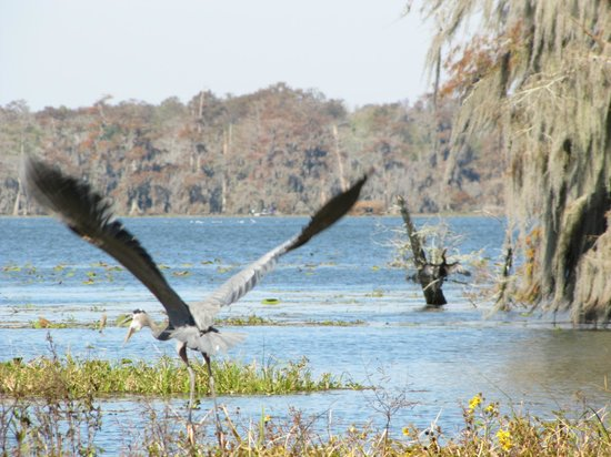 Champagne's Cajun Swamp Tours : Birds & Swamp