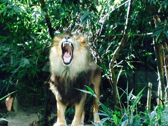 Taronga Zoo : King of the jungle