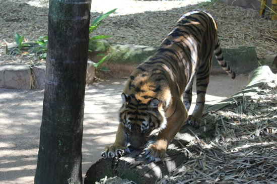 Australia Zoo : The tiger is so beautiful, isnt it?