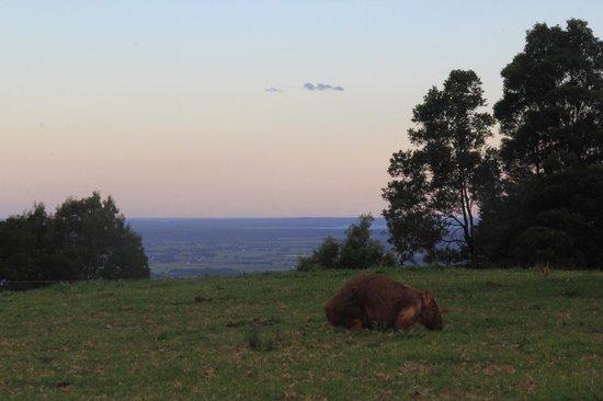 Barefoot Springs B & B: Wombat at dusk