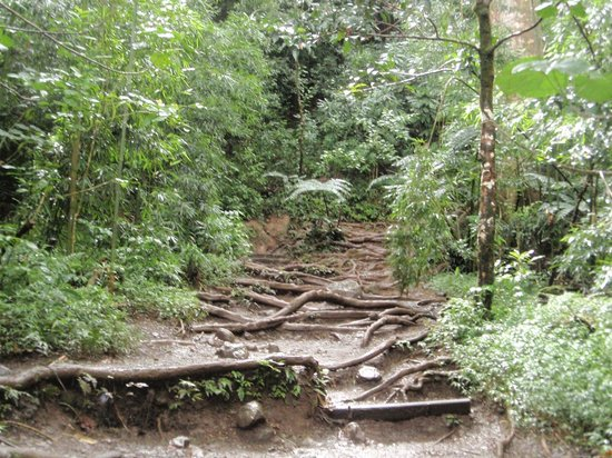 Manoa Falls : lots of roots on the trail