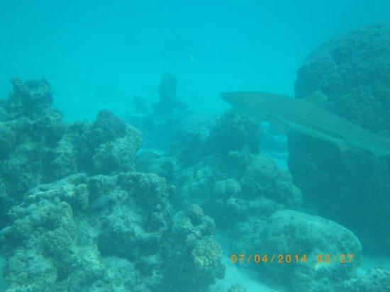 Coco beach : requin pointe noire