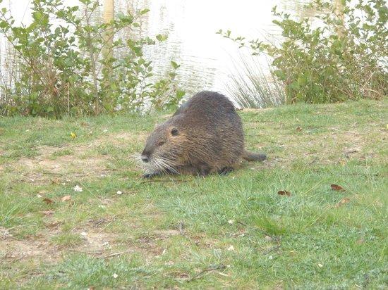 Center Parcs Le Lac d'Ailette : Les ragondins viennent vous dire bonjour