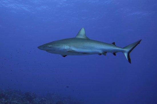 TOPDIVE Bora Bora: Grauer Riffhai nördlich vom Flughafen