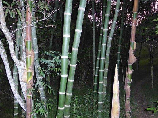 Rumi Wilco Ecolodge & Nature Reserve: Bambus-Wald im Rumiwilco