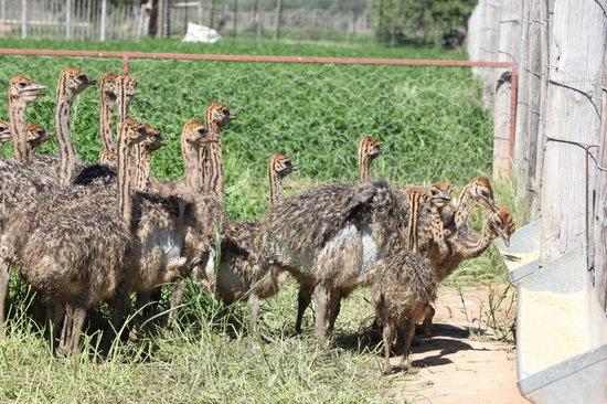 Safari Ostrich Show Farm: Ostrich chicks feeding #Safari Ostrich Farm