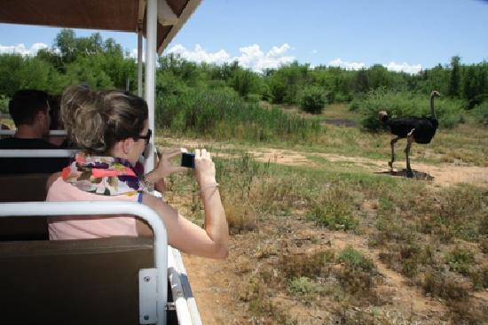 Safari Ostrich Show Farm: nice photo opportunity on the tractor drive #Safari Ostrich Farm