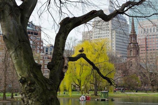 Jardín Público de Boston: Duck in a tree