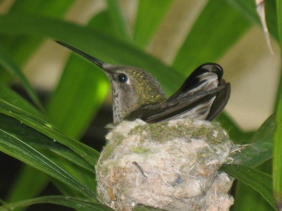 The Moonlight Beach Motel's resident female hummingbird, March 2014
