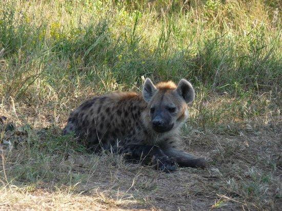 Sango Safari Camp : Mother hyena guarding her cubs