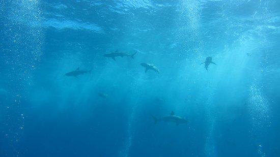 Manta Ray Bay Resort: Haie am Vertigo
