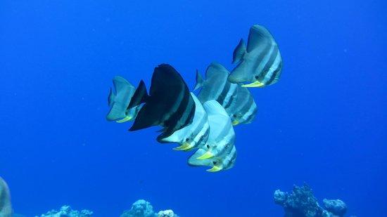 Manta Ray Bay Resort: Fledermausfische