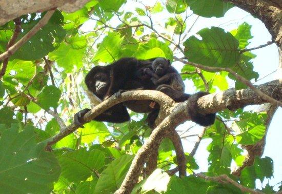 Casas Pelicano: Howler monkey with baby!