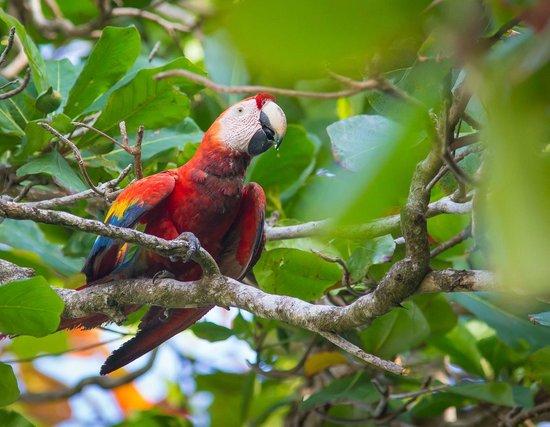 Finca Exotica Ecolodge: Corcovado Scarlet Macaw