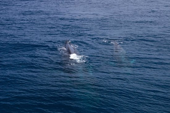 Mum Amp Baby Fin Whales Picture Of Hornblower Cruises