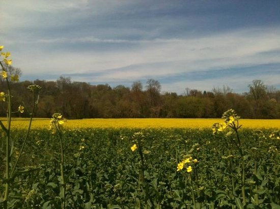 Fields of yellow flowers in april picture of asheville north fields of yellow flowers in april picture of asheville north carolina mountains tripadvisor mightylinksfo