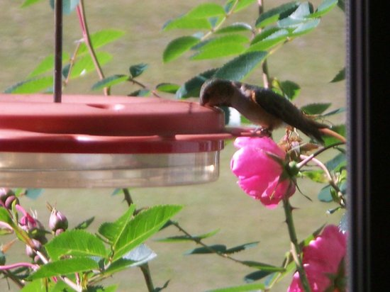 Bella Coola Valley: Hummingbirds can be seen from early Apr. to July